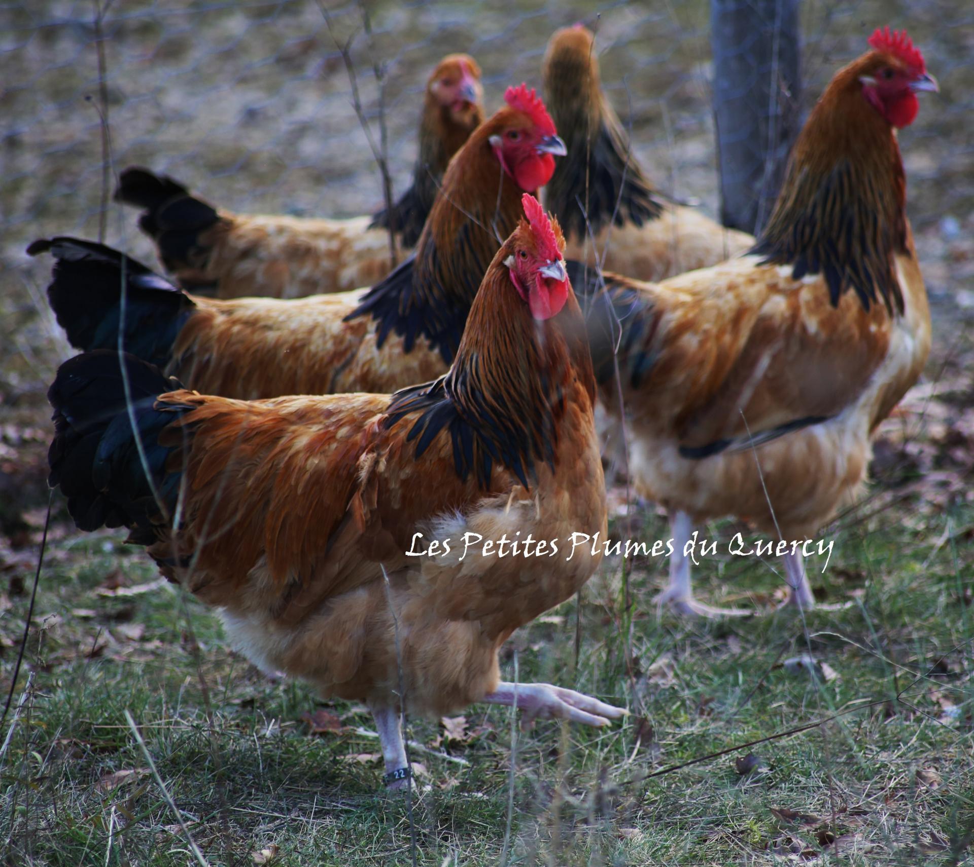 poule sussex fauve herminee